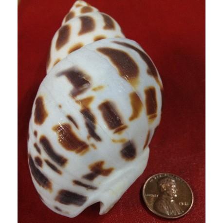 صدف شیپوری کوچک