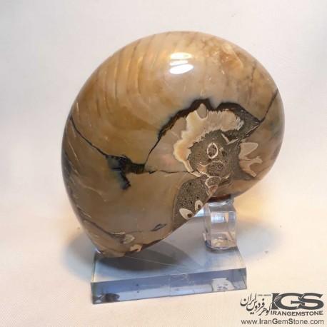 فسیل طبیعی آمونیت fossil ammonite