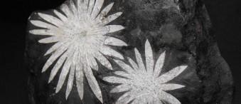 خواص سنگ گل داودی Chrysanthemum Stone